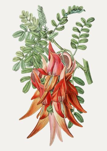 Clianthus filial