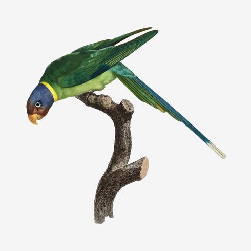 plommon-headed parakeet