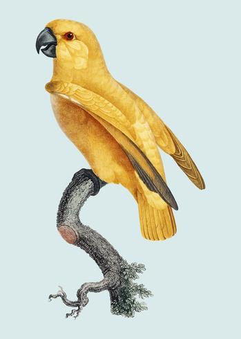 Papagaio senegal amarelo raro