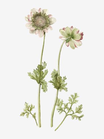 De anemone Green Knight vintage illustratie