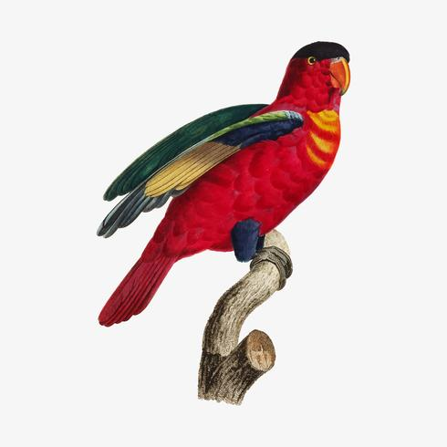 Lila-naped lory