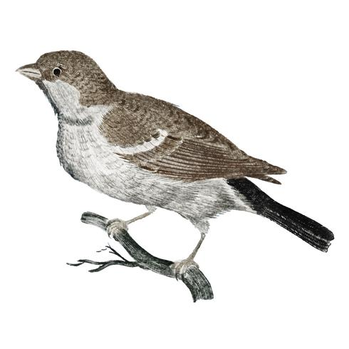 Vintage illustration of a Sparrow on a Branch