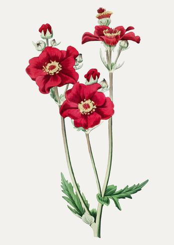 Griechische Rose