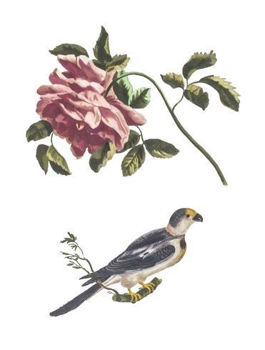 Vintage illustration of a Rose and a Parakeet