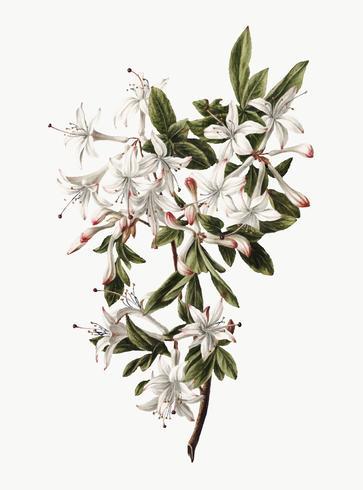 Vintage illustratie van tak van Azalea's in bloei