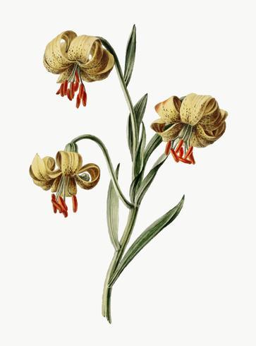 Vintage illustration av gula liljor