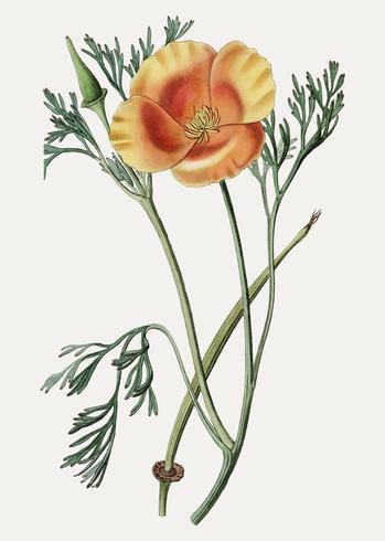 Californië poppy branch