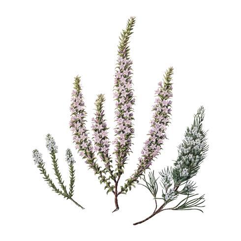 Antieke plant Epacris (2 soorten) getekend door Sarah Featon (1848 - 1927). Digitaal verbeterd door rawpixel.