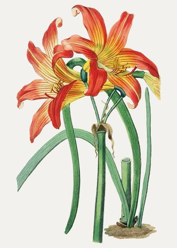 Habranthus oranje bloem