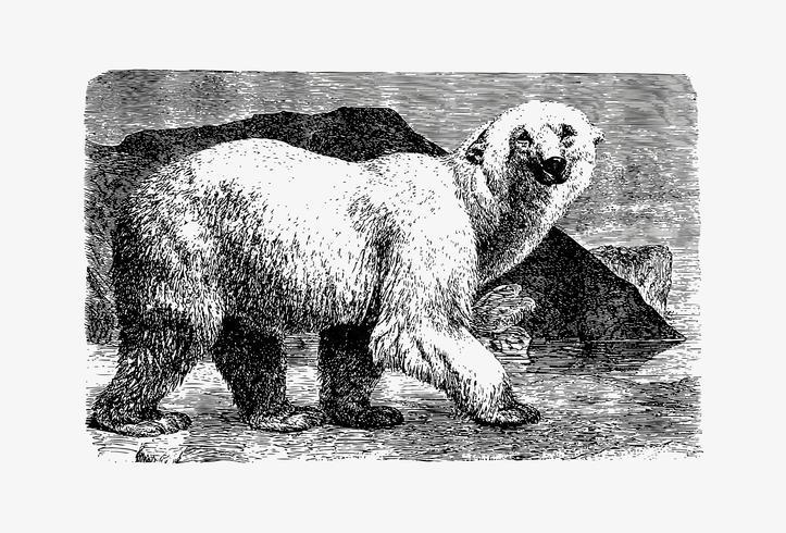 Dessin d'ombre d'ours blanc
