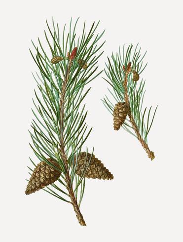 Skott pine barrträd kottar