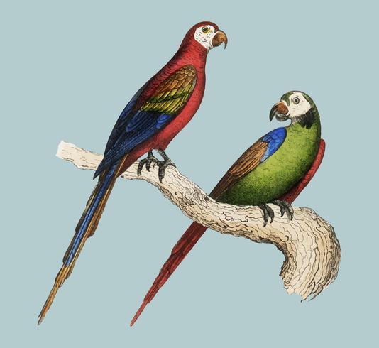Scarlet and Green Macaw von Oeuvres complètes de Buffon (1860). Digital verbessert durch Rawpixel.