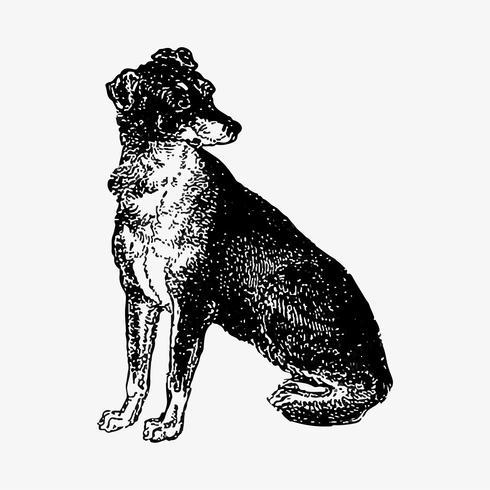 Scottish Deerhoun shade drawing