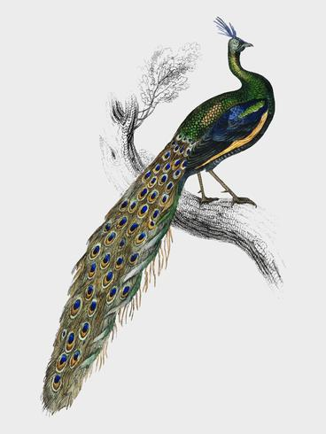 The Naturalist's Library by Sir William Jardine (1836), a majestic male peafowl portrait. Digitally enhanced by rawpixel.