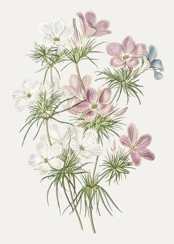 Flor de leptosifón