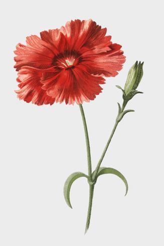 Indian Pink van Frederick Edward Hulme (1841-1909), een vintage chromolithograph van Indiase roze bloem. Digitaal verbeterd door rawpixel.