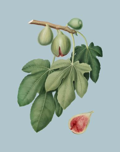 Fig från Pomona Italiana illustration