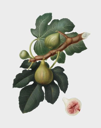 Fig. Van Pomona Italiana-illustratie