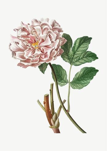 Peonia rosa di Moutan