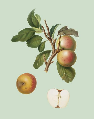 Pupina Apple van Pomona Italiana-illustratie