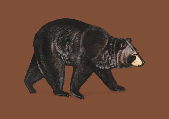 American Black Bear illustration