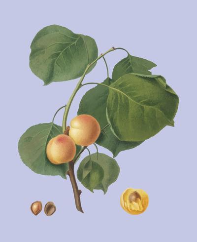 Gul aprikos från Pomona Italiana illustration