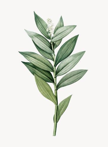 Illustration vintage de Smilacina stellata