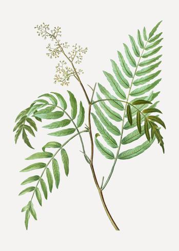 Branche de poivre péruvien