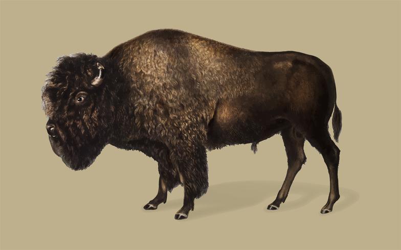 Ilustración de bisonte americano