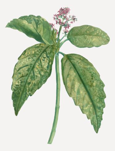 Japanse laurierplant