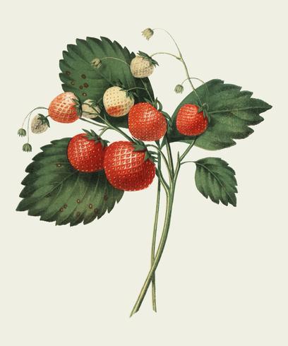 La Boston Pine Strawberry (1852) de Charles Hovey, une illustration vintage de fraises fraîches. Amélioré numériquement par rawpixel.