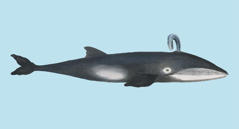 Whale from Natural History Bilder av däggdjuret (1824) av Heinrich Rudolf Schinz. Digitalt förbättrad av rawpixel.