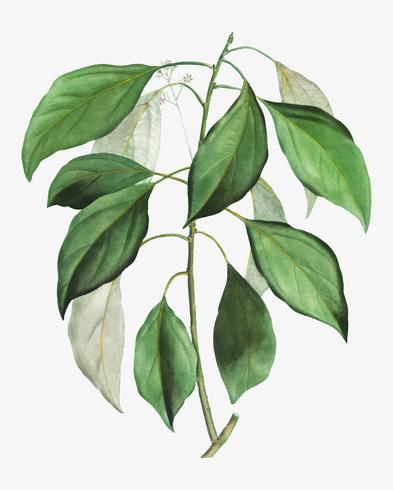 Camphor tree branch