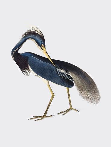 Illustrazione di Louisiana Heron
