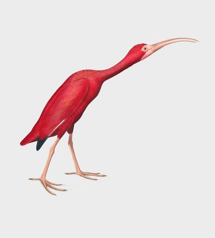Scarlet Ibis illustration