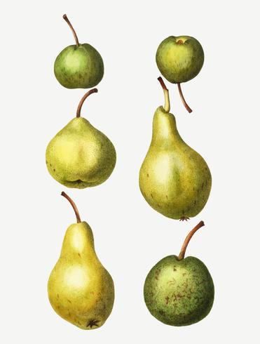 Vintage pear types drawing