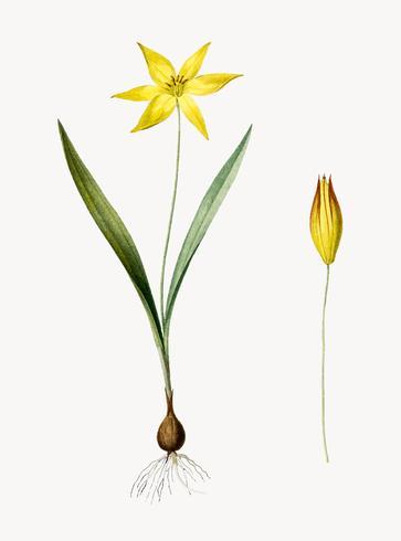 Ilustración vintage de tulipa celsiana