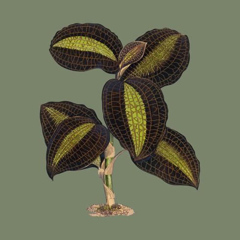 La copie dorée - Anaectochilus du livre Les pierres précieuses de la nature et de l'art (1870), une copie botanique vintage de feuilles aux couleurs magnifiques. Augmenté numériquement par rawpixel.