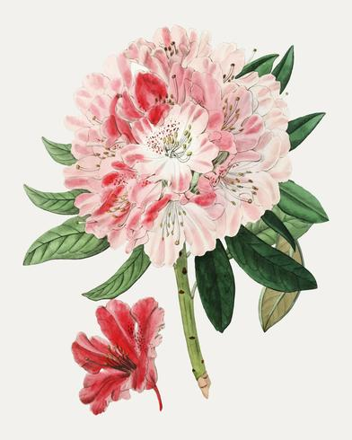 Azálea rosa