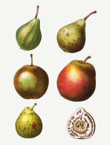 Disegno di tipi di pera vintage