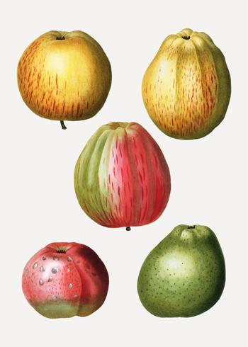 Divers types de pommes