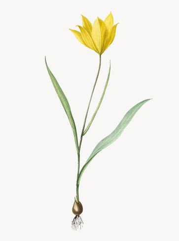Tappningillustration av Tulipa sylvestris