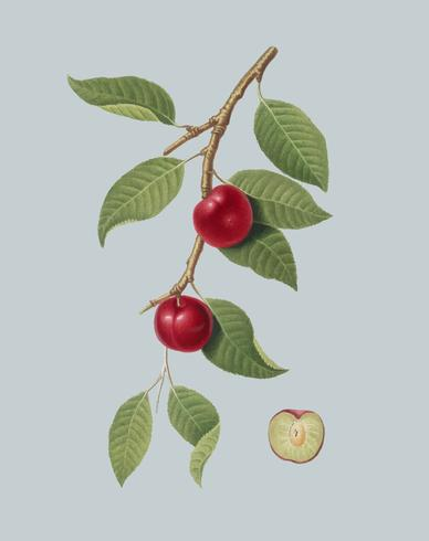 Cerise Prune de Pomona Italiana illustration