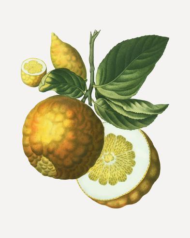Fruta de manzana adán