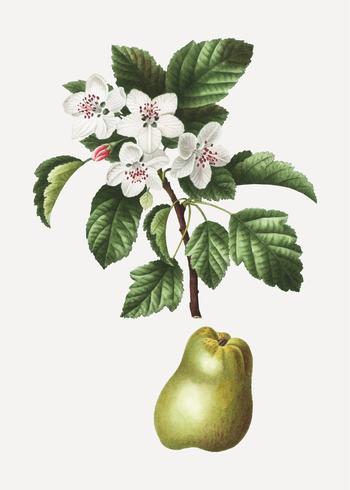 Árbol frutal de manzano