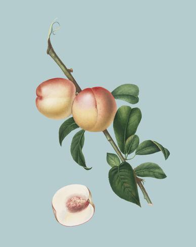 Nogal blanco de la ilustración pomona italiana.