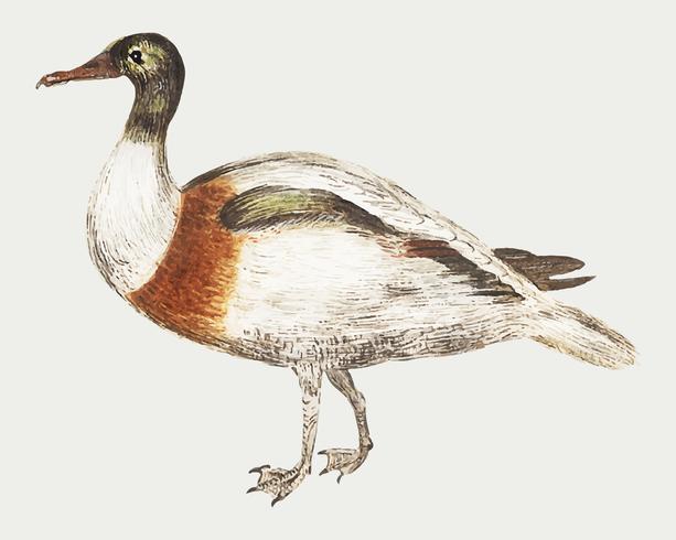 Pato corredor indio en estilo vintage