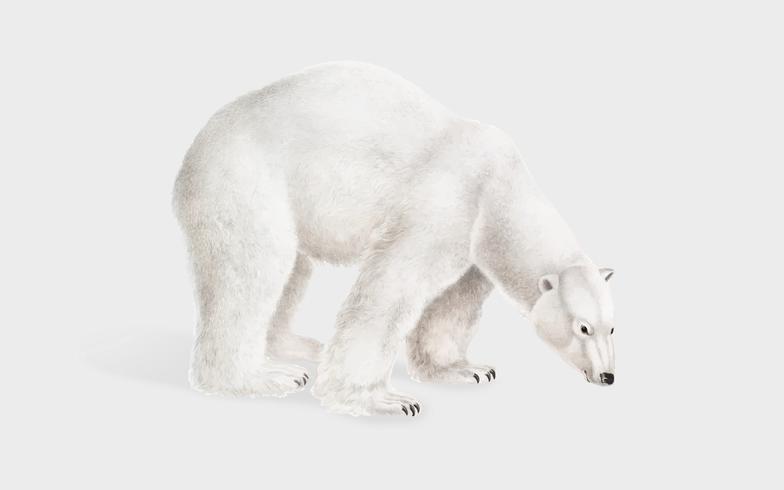 Isbjörn illustration