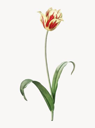 Illustrazione d'epoca del tulipano di Didier