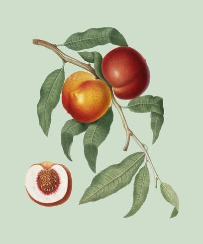 Valnöt persika från Pomona Italiana illustration